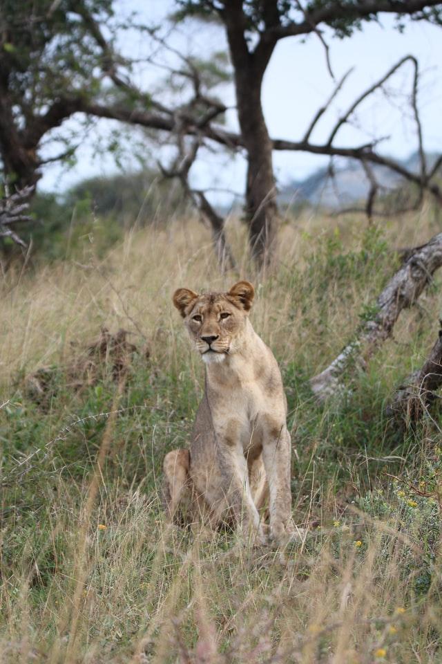 Rundreise Südafrika - Löwe